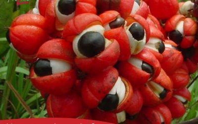 Гуарана – Екзотичният плод. Заместител на Кафето.